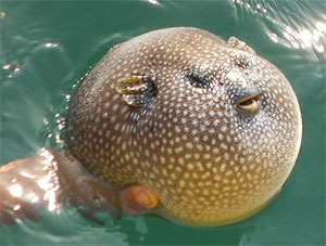 smooth-puffer-fish